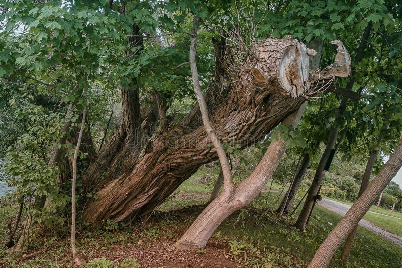 Ett gammalt sågat träd arkivbild
