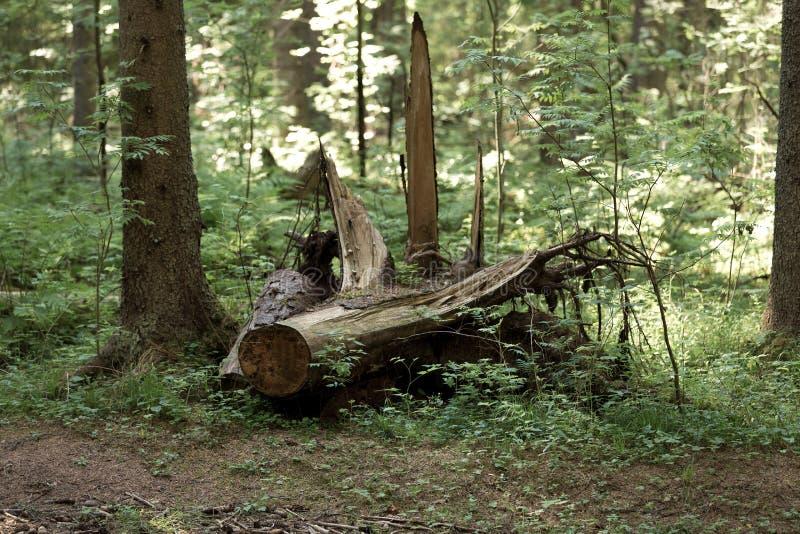 Ett gammalt stupat träd i en naturlig skog royaltyfria bilder