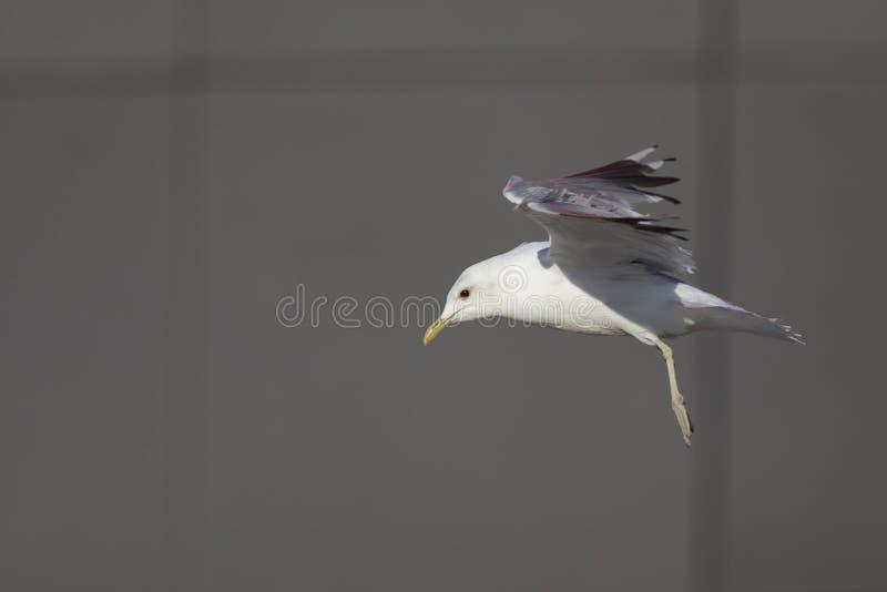 Ett gemensamt flyg för fiskmås- eller för mjaufiskmås Laruscanus i framdel av en grå färg kvadrerade byggnad i portarna av den Br royaltyfria foton