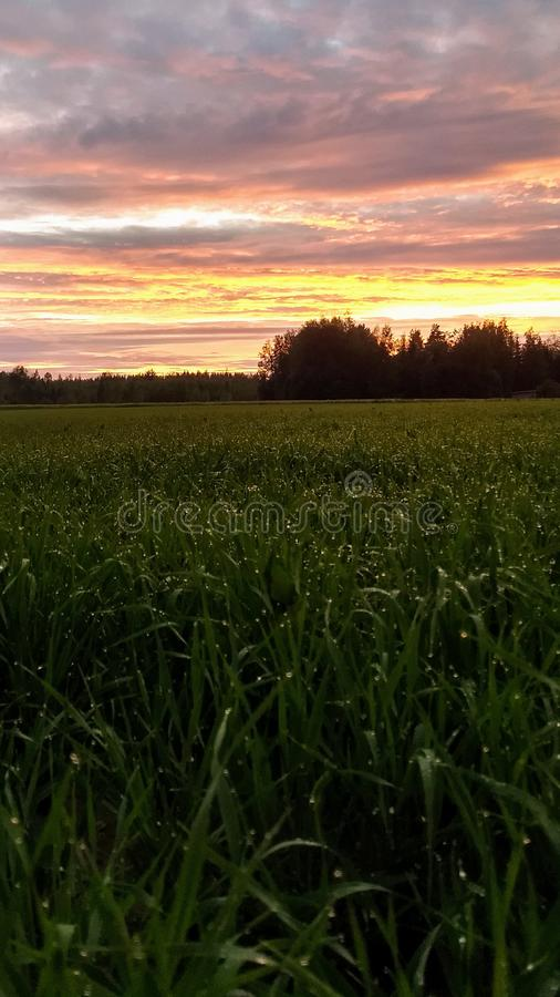 Ett grön fält och solnedgång, regndroppar på havre royaltyfria foton