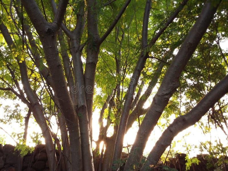 Ett grönaktigt förgrena sig träd arkivbild
