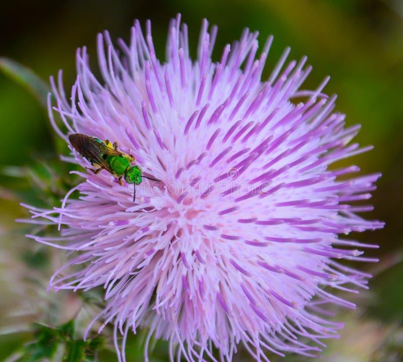 Ett grönt bi på en purpurfärgad tistelblomma royaltyfria foton