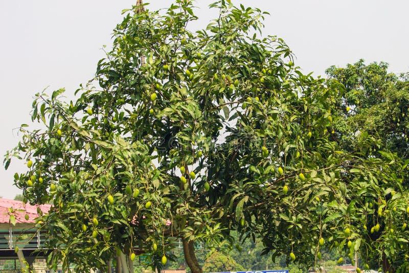 Ett grönt mangoträd med mango fotografering för bildbyråer