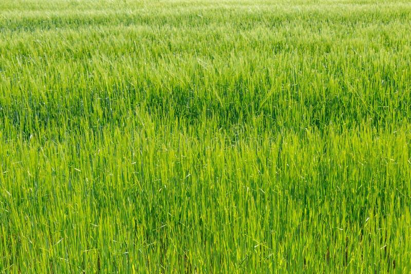 Ett grönt vetefält royaltyfria bilder