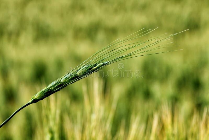 Ett grönt vetestjälk framför vetefältet royaltyfri bild
