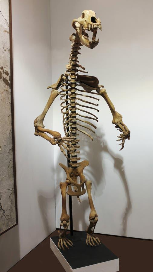 Ett grottabjörnskelett på GeoDecor fossil & mineraler arkivbilder