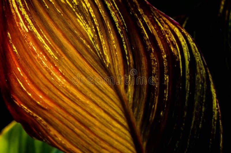 Ett guld- rött ådrat blad som är bakbelyst vid solen, glöder beautifully i sommarträdgården royaltyfria bilder