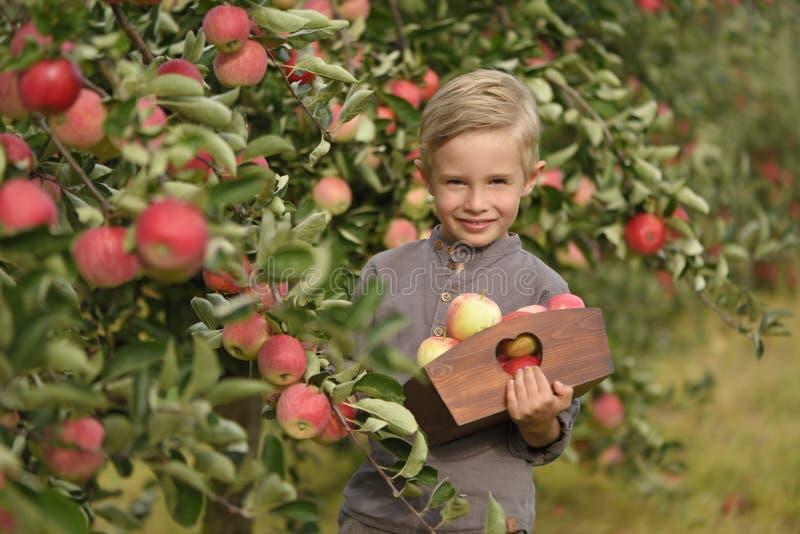Ett gulligt och att le pojken väljer äpplen i en äpplefruktträdgård och innehav ett äpple royaltyfria foton