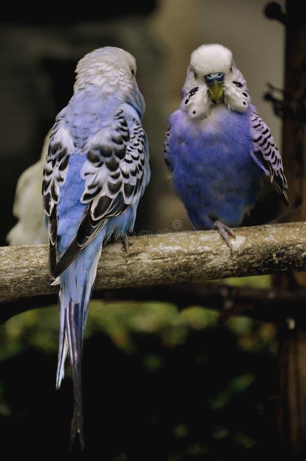 Ett gulligt par av fåglar arkivbilder