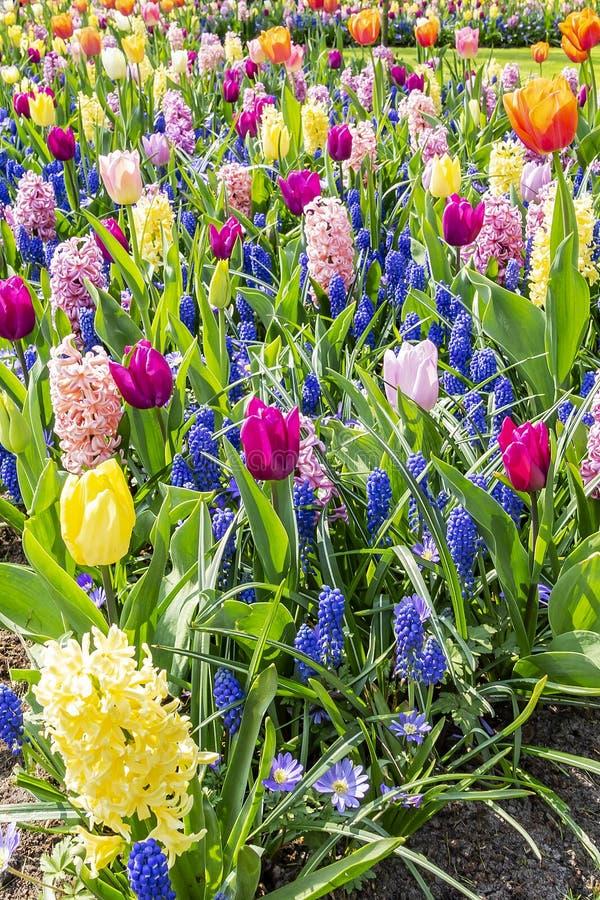 Ett härligt blandat fält inklusive tulpan, muscarien, härlighet-av--snö och hyacinter i blomman parkerar keukenhof i Lisse, Nethe royaltyfri bild