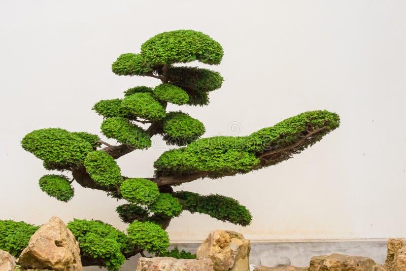 Ett Härligt Bonsaiträd Med Vaggar Royaltyfri Foto