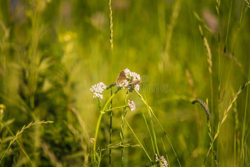 Ett härligt brunt fjärilssammanträde på valerianablomman Liten fjäril som matar i äng blå sommar för sky för fältgreenlandskap arkivbild
