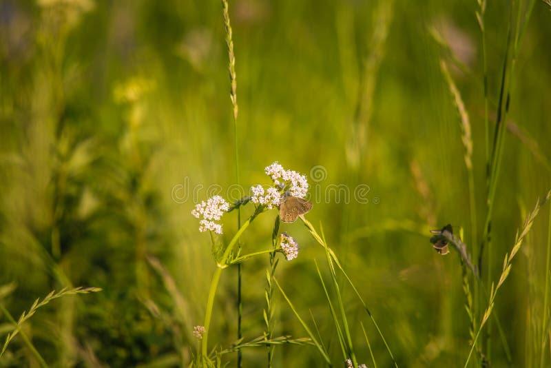 Ett härligt brunt fjärilssammanträde på valerianablomman Liten fjäril som matar i äng blå sommar för sky för fältgreenlandskap royaltyfria bilder
