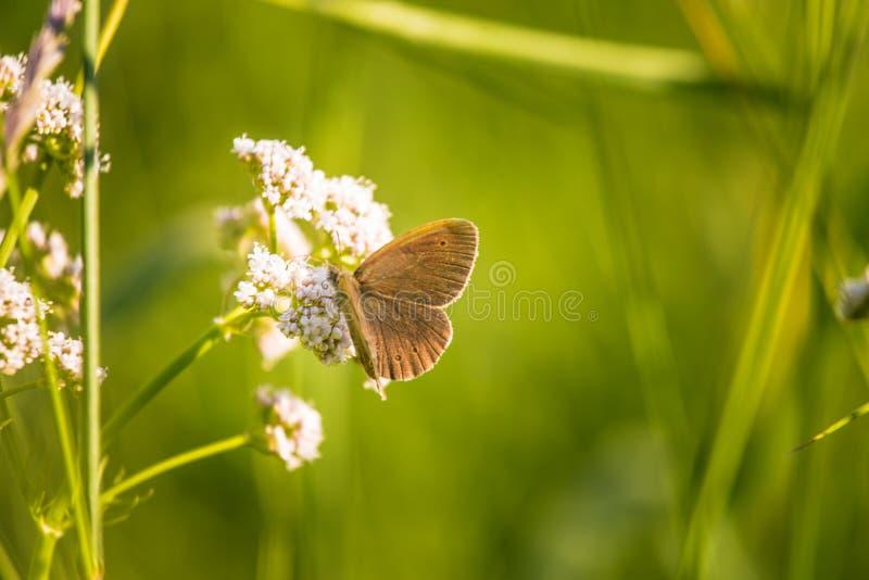 Ett härligt brunt fjärilssammanträde på valerianablomman Liten fjäril som matar i äng blå sommar för sky för fältgreenlandskap royaltyfri fotografi