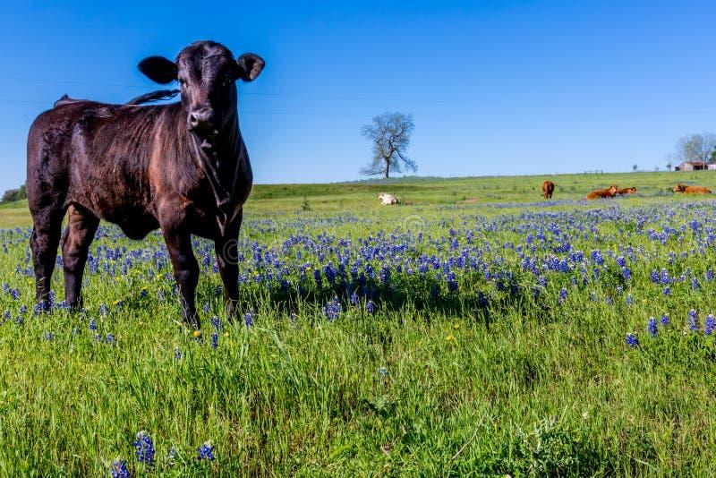 Ett härligt fält med Bluebonnets och svarta Angus Cow arkivfoto