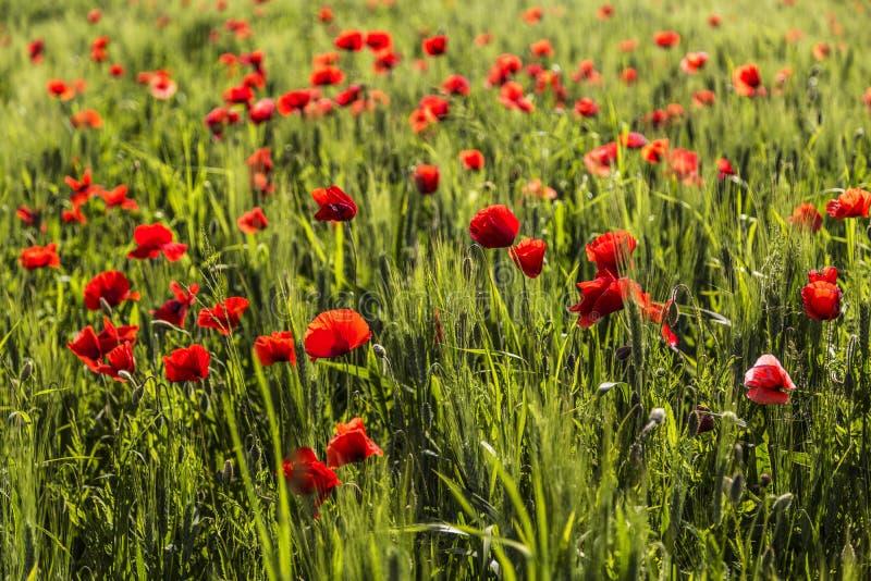 Ett härligt fält med gräs och blommavallmo royaltyfri bild