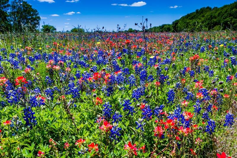Ett härligt fält som filt med den berömda ljusa blåa Texas Bluebonnet och den ljusa orange indiska målarpenseln royaltyfria bilder