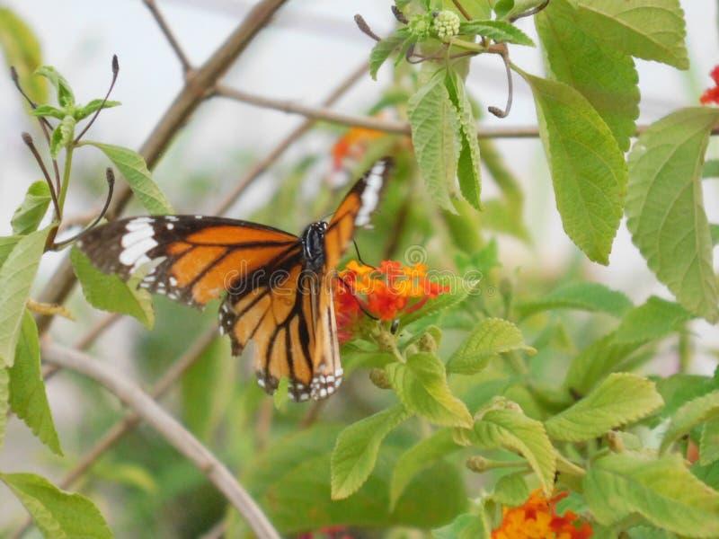Ett härligt fotografi av en fjäril på en blomma royaltyfria bilder
