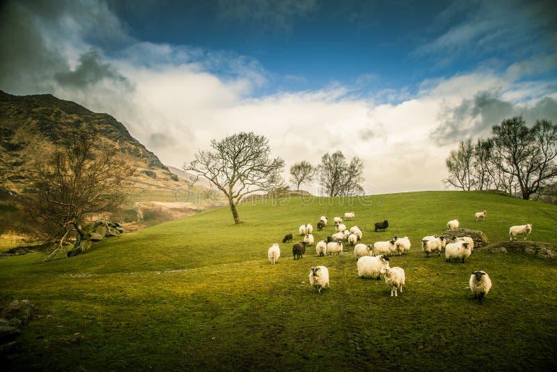 Ett härligt irländskt berglandskap i vår med får arkivbilder