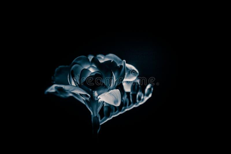 Ett härligt monokromt foto av en vit freesia royaltyfria foton