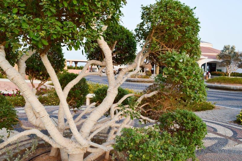 Ett härligt ovanligt exotiskt träd med gräsplansidafilialer och slågen in stam, slåget in i ett vitt rep, trådar som krullar arkivbild
