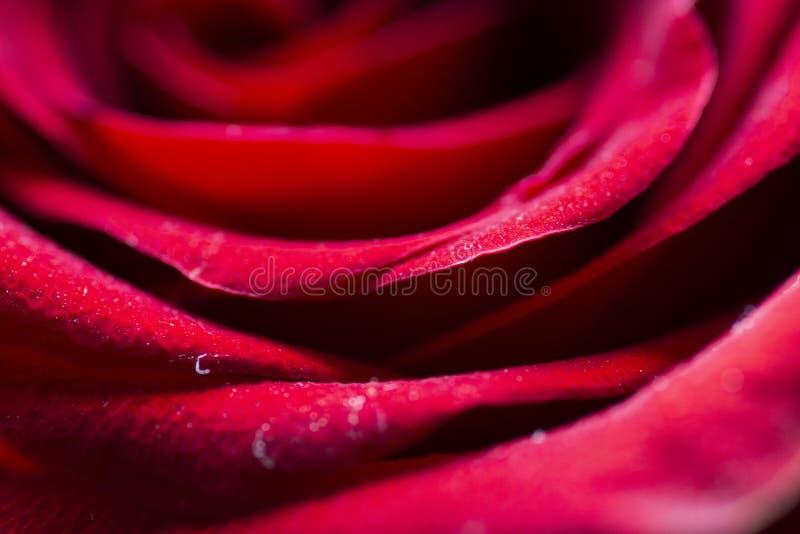Ett härligt rött rosa slut upp makrofotoet royaltyfri fotografi