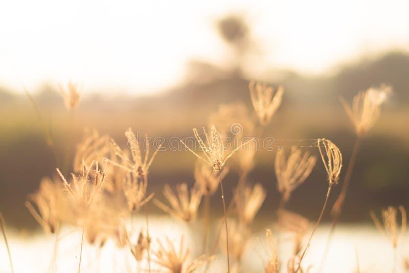 Ett härligt skinande fält av guld- med några vildblommor som tusenskönor och härlig naturbakgrund för löst gräs royaltyfri fotografi