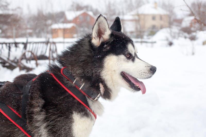 Ett härligt skrovligt för Siberian med den rosa tungan på det vita snöbakgrundsslutet upp, svart päls- alaskabo Malamute med den  royaltyfria bilder