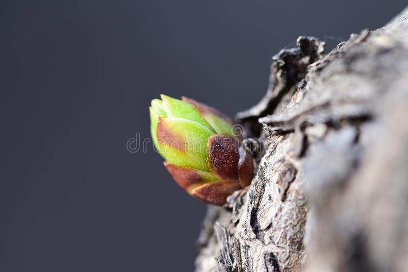 Ett härligt tidigt vårblad av en lila buske royaltyfri foto