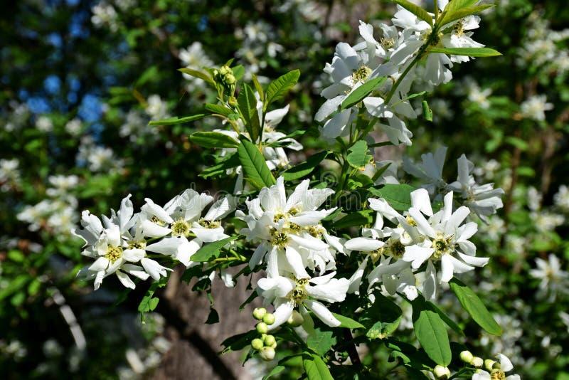 Ett härligt träd blomstrade i trädgården, vår royaltyfri bild
