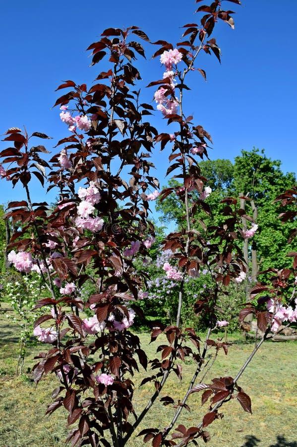 Ett härligt träd blomstrade i trädgården, vår royaltyfria bilder