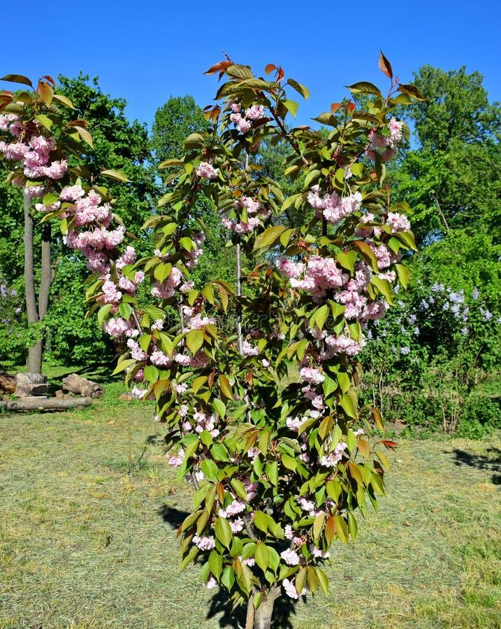 Ett härligt träd blomstrade i trädgården, vår arkivfoton