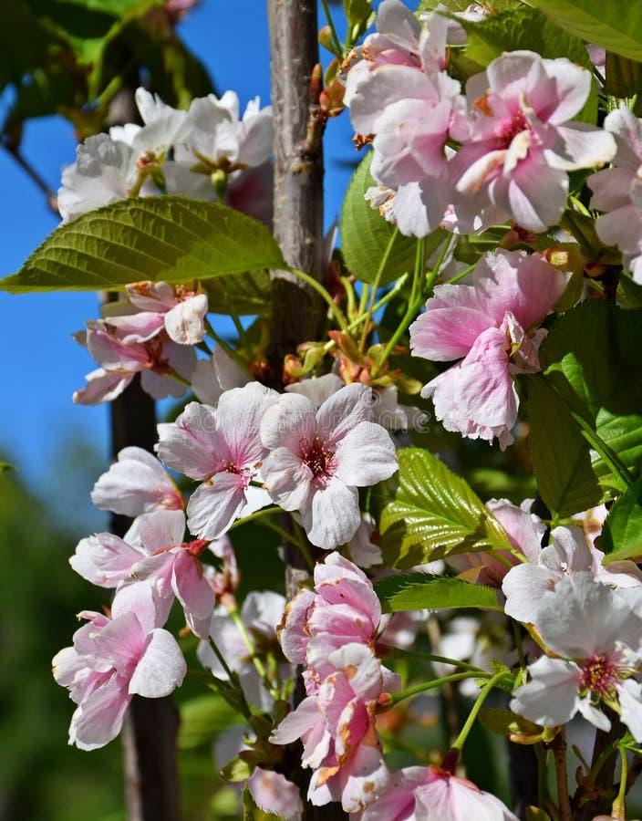 Ett härligt träd blomstrade i trädgården, vår arkivfoto