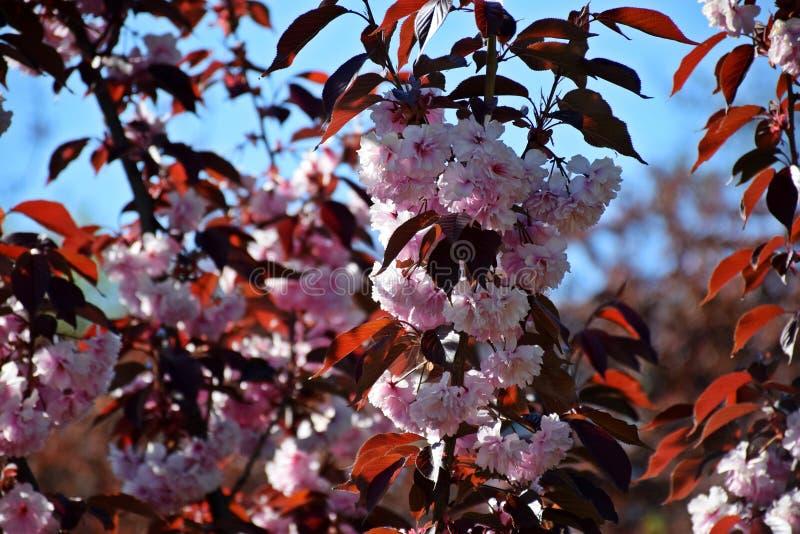 Ett härligt träd blomstrade i trädgården, vår royaltyfri fotografi