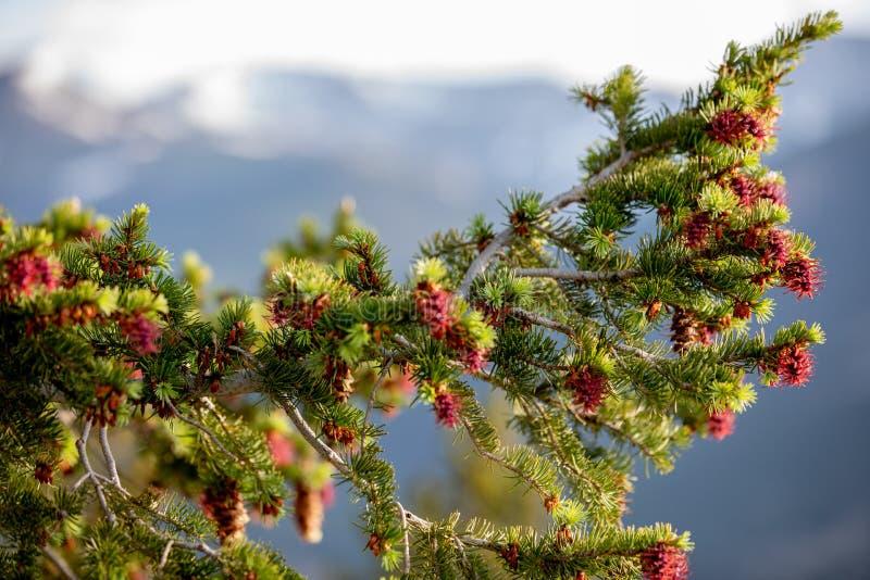Ett härligt träd med röda Pinecones på en sommardag med blå himmel och vita moln på Rocky Mountain National Park i Colorado royaltyfri foto