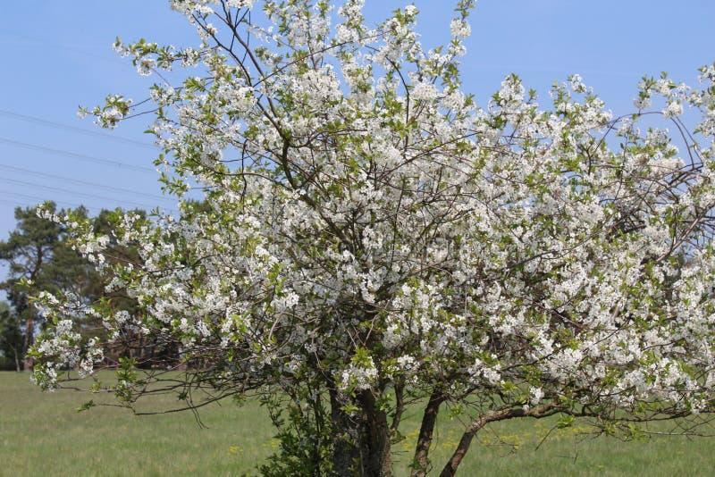 Ett härligt träd mycket av körsbärsröda blomningar på skogbanan royaltyfri bild