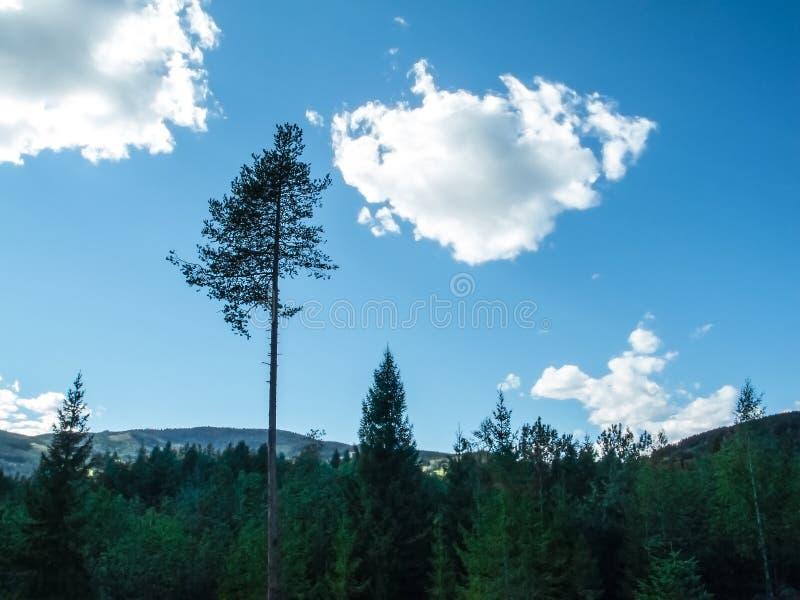 Ett högt björkträd som bara står ovanför många treetops av gran med berg i avlägset avstånd arkivbild