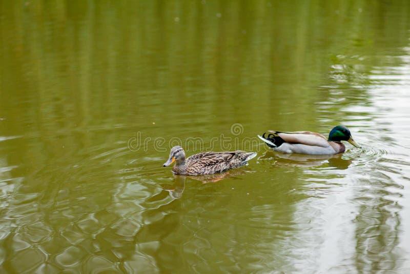 Ett h?na- och Drake Mallard Duck bad tillsammans royaltyfri fotografi