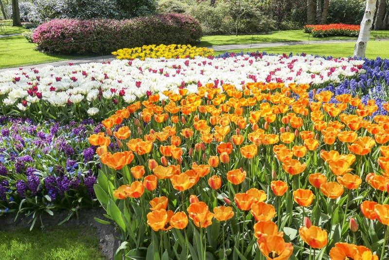 Ett hav av blommor med hyacinter och tulpan i åtskilliga färger royaltyfria bilder