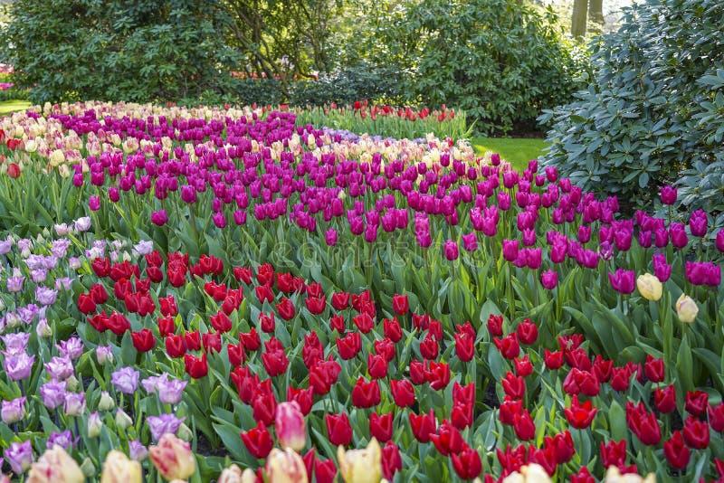 Ett hav av tulpan i olika färger mellan rhododendronbuskarna royaltyfria bilder
