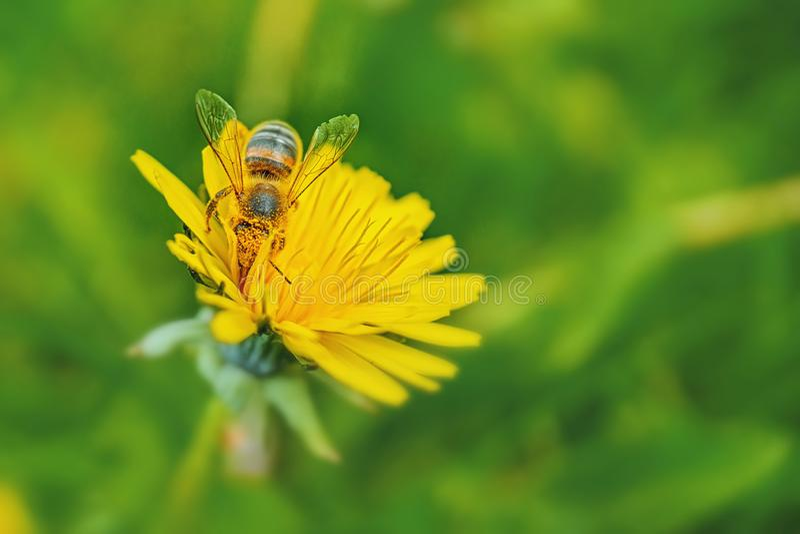 Ett honungbi i gult pollen samlar nektar från en maskrosblomma på en solig vårdag Fjädra den tid… ron lämnar, naturlig bakgrund k arkivbilder