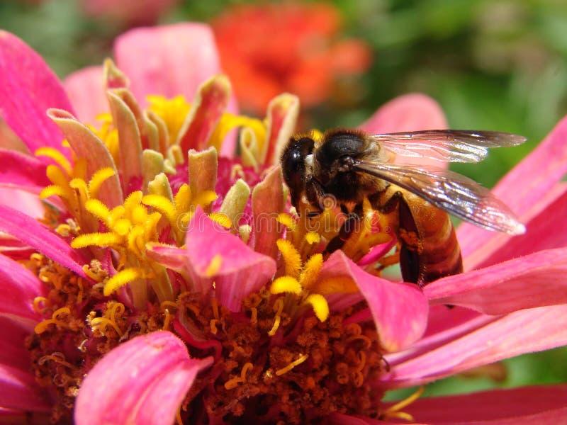 Ett honungbi som samlar nektar av blommor royaltyfri fotografi