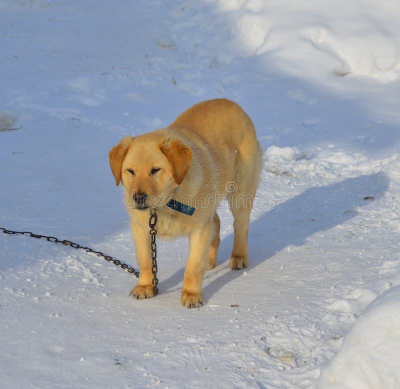 Ett hundanseende på snö arkivfoto