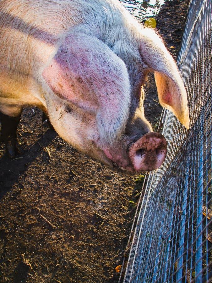 Ett huvud av det mogna svinet med den rosa näsan, närbild, traskat däggdjur, fa royaltyfria foton