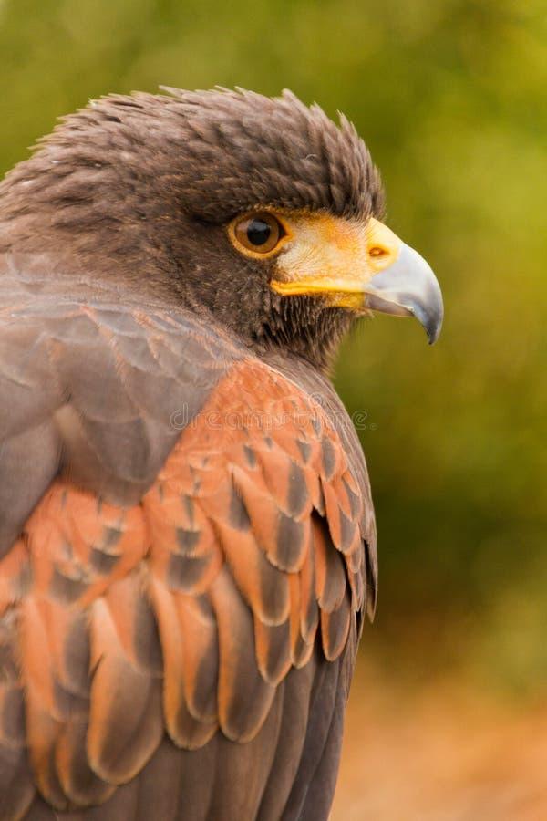 Ett huvud av en captive Harris Hawk parabuteounicinctus, falkenerarkonst fotografering för bildbyråer