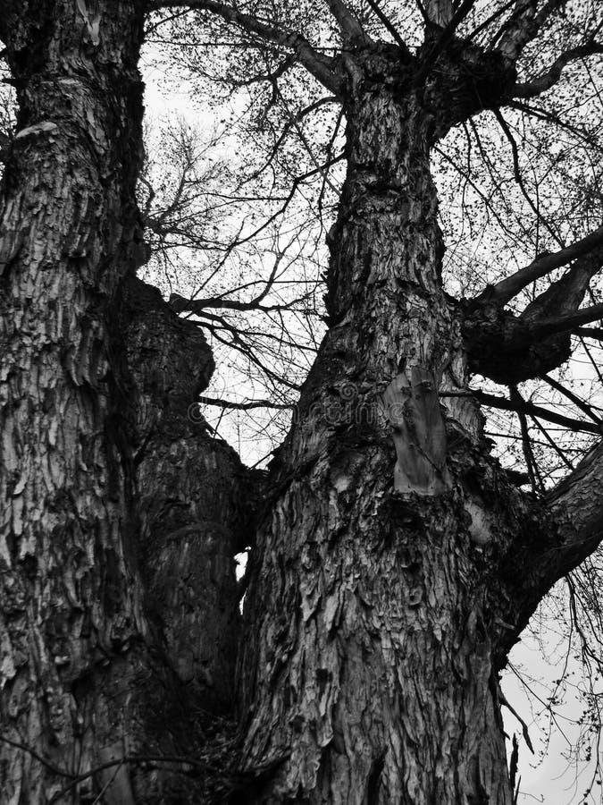 Ett imponerande träd sammanlagt det vishet för ` s arkivbild