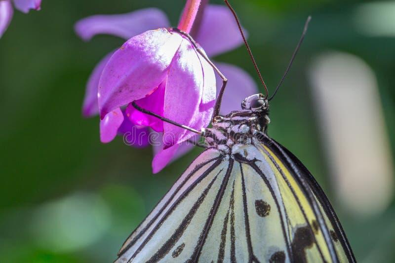 Ett innehav för trädnymffjäril på en blomma arkivfoton