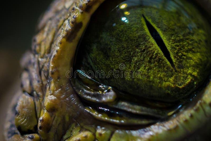 Ett intressant ögonblick i natur Krokodils för öga slut upp royaltyfria bilder