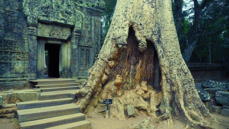 Ett jätte- träd på ingången av Ta Prohm, Angkor, Siem Reap, Cambodja fotografering för bildbyråer