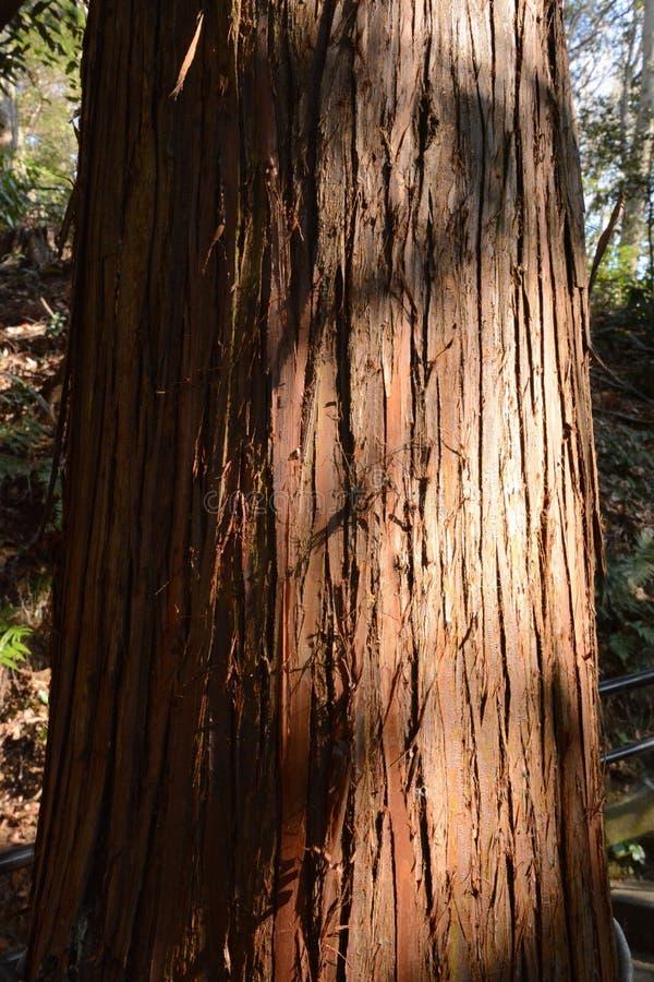 Ett japanskt cederträ royaltyfri fotografi
